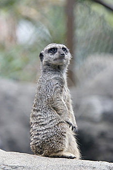 Meerkat Sentry Stock Photography - Image: 7891082