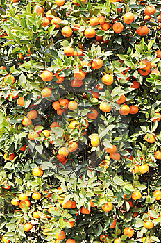 The Small Orange Tree Royalty Free Stock Photo - Image: 7891605