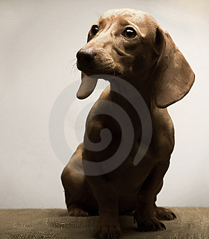 Puppy Royalty Free Stock Photo - Image: 7894215