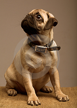 Cute Pug Stock Images - Image: 7894404