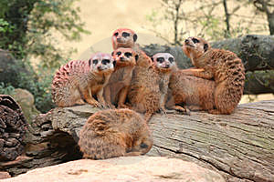 Meerkat Family Get Together Stock Photography - Image: 7894532