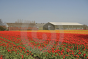 Tulip Field Stock Image - Image: 7898291