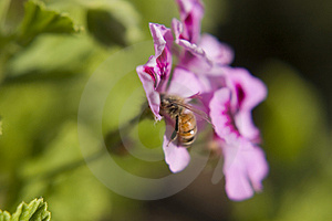 Bee Royalty Free Stock Image - Image: 793266