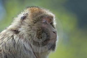 Barbary Ape Stock Images - Image: 796914