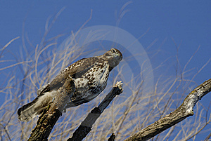 Red Tailed Hawk Stock Photo - Image: 7903210