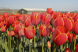 Tulip Field Royalty Free Stock Image - Image: 7903356