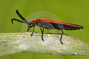 Long-nosed Lycid Beetle Stock Photo - Image: 7903760