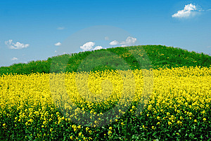 Green Hill On Canola Field Royalty Free Stock Photography - Image: 7907807