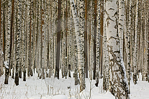 Birches Royalty Free Stock Photos - Image: 7913938