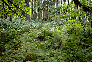 A Forest Of Ferns Royalty Free Stock Images - Image: 7915079