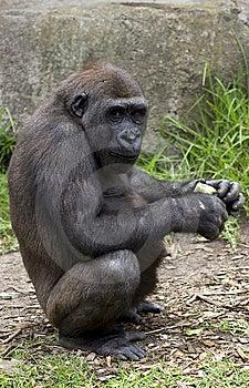 Chimpanzee At Taronga Zoo Royalty Free Stock Photos - Image: 7916388