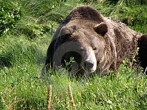 Grizzley Taking A Nap. Royalty Free Stock Photos - Image: 7918988