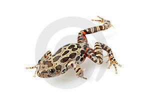 Tiger-Legged Walking Frog Royalty Free Stock Image - Image: 7920696