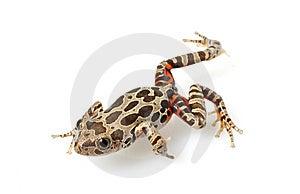 Tiger-Legged Walking Frog Royalty Free Stock Image - Image: 7920696