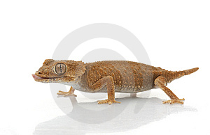 Helmeted Gecko Royalty Free Stock Images - Image: 7921129
