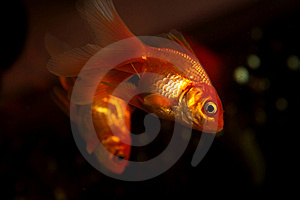 Gold Small Fish Stock Photo - Image: 7925940