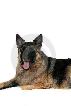 Big Tan Dog With Tongue Hanging Out Royalty Free Stock Photography - Image: 7928487