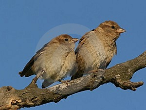 Couple Of Young Sparrow Perched On A Branch Stock Photography - Image: 7929412