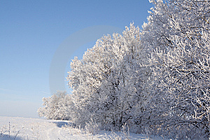 Oaks Covered With Snow Royalty Free Stock Photos - Image: 7936638