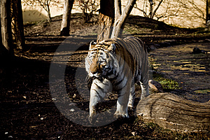 Tiger Stock Photos - Image: 7937133