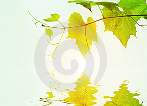 Leaves Of Vine On A Background Sunrise And Their R Royalty Free Stock Image - Image: 7938336
