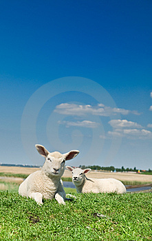 Cute Lambs Royalty Free Stock Photography - Image: 7944867