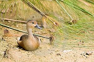 Sitting Duck Royalty Free Stock Photo - Image: 7947355