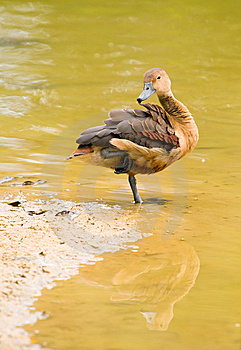 Duck Preening At Water's Edge Royalty Free Stock Images - Image: 7947409