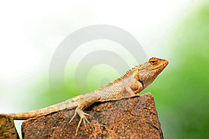 Chameleon Royalty Free Stock Photos - Image: 7948908