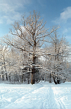 Oak Tree In Winter Royalty Free Stock Photography - Image: 7949637