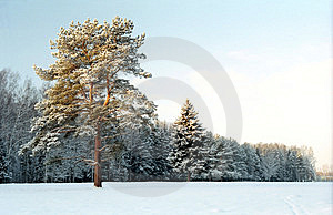 Pine-tree Near Winter Forest Stock Images - Image: 7949664