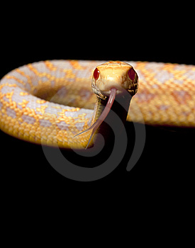 Albino San Diego Gopher Snake Royalty Free Stock Photography - Image: 7960007