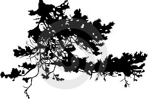 Pine Tree Branch Silhouette Stock Photos - Image: 7963353