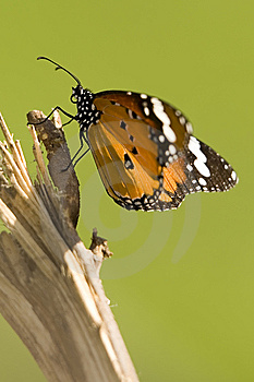 Monarch Royalty Free Stock Images - Image: 7964439