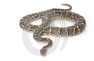 Angolan Python Stock Photos - Image: 7964453