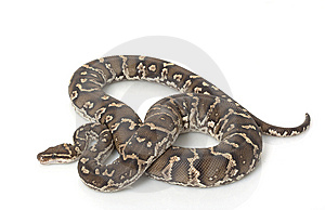 Angolan Python Royalty Free Stock Images - Image: 7964459