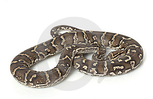 Angolan Python Stock Photos - Image: 7964463