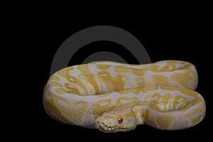 Albino Ball Python Royalty Free Stock Photo - Image: 7964485
