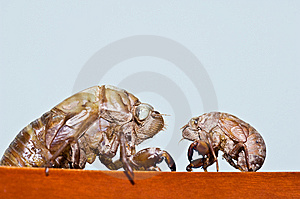Cicada Molt Royalty Free Stock Photos - Image: 7965498