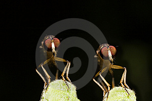 Twin Robber Fly Face View Stock Image - Image: 7966341