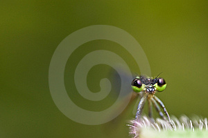 Damselfly Face With Green Background Stock Photography - Image: 7966362