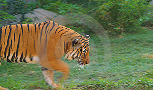 Orange Tiger Walking Royalty Free Stock Photo - Image: 7969645