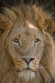 Portrait Of A Male Lion Stock Photo - Image: 7971060