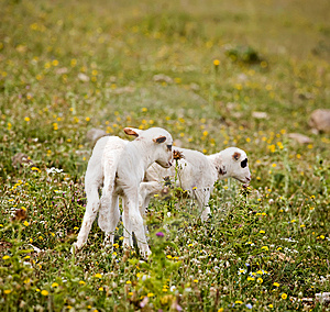 Two Cute Little Lambs On Meadow Royalty Free Stock Photos - Image: 7971148