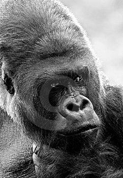 Gorilla King Stock Photography - Image: 7977452