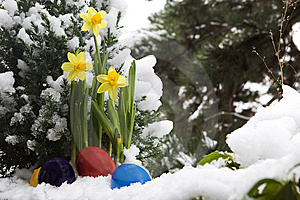 Easter Eggs And Narcissus In The Snow Stock Photography - Image: 7981002