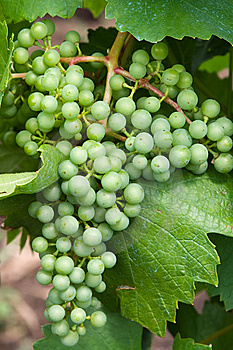 Green Grape Stock Photography - Image: 7982502