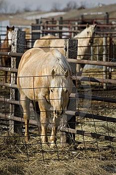 Caged Horses Royalty Free Stock Photo - Image: 7983105
