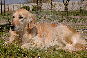 Golden Retriever Lying On Backyard Royalty Free Stock Image - Image: 7988546
