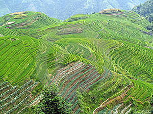Rice Fields 3 Stock Photography - Image: 7988972